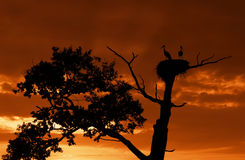 Silhouette stork on an old oak Stock Photo