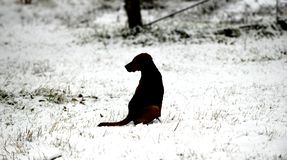 Silhouette of a stray dog sitting on a snow. Image royalty free stock photo