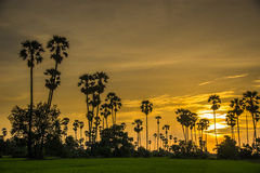 Silhouette sugar palm tree on rice farm Stock Images