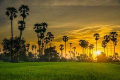 Silhouette sugar palm tree on rice farm Stock Photo