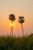Silhouette sugar palm tree on rice farm during sunset. In rural of Thailand Royalty Free Stock Photos