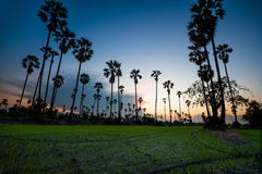 Silhouette of sugar palm tree on rice fields in thailand Royalty Free Stock Photo