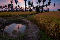 Silhouette of sugar palm tree on rice fields in thailand Royalty Free Stock Images