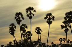 Silhouette sugar palm tree on sunset Royalty Free Stock Images