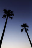 Silhouette of sugar palm tree on sunset sky. Background stock photography