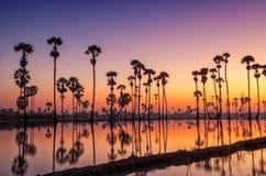 Silhouette Sugar Palm Tree sur le gisement de riz photo stock