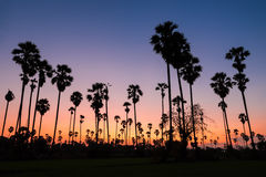 Silhouette of sugar palm tree Royalty Free Stock Photos