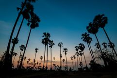 Silhouette of sugar palm tree on twilight. In Thailand Stock Image