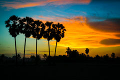 Silhouette sugar palm tree Royalty Free Stock Images