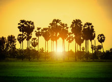 Silhouette sugar palm trees on rice field at sunset. Stock Photos