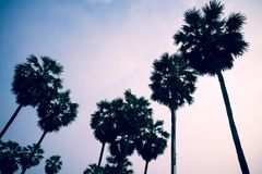 Silhouette of sugar palm trees in sunrise - Tropical summer holi. Day Royalty Free Stock Image