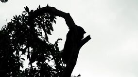 Silhouette of sun bear helarctos malayanus climbing tree. endangered endemic borneo animal. Shot with a Sony a6300 fps29,97 4k stock video footage