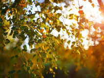 Silhouette Sun rays light between alder branches Stock Photo