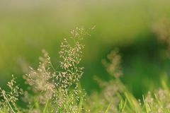 Small wild grass flower blossom in a forest on green nature. Silhouette sunlight background royalty free stock photo