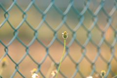 Wild grass flower blossom in a field with blurred green metal fence stock photo