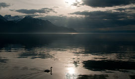 Silhouette of a swan. In a lake royalty free stock photo