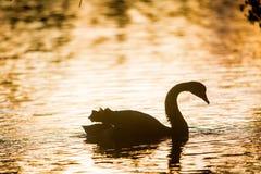 Silhouette of swan bird on sunset background. Silhouette of swan bird on sunset water background Stock Photos