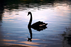 Silhouette of a swan and its reflection Stock Image
