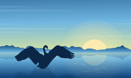Silhouette of swan in the lake at sunrise Stock Images