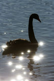 Silhouette of swan on sparkle water. Stock Photos