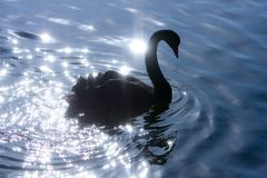 Silhouette of swan on sparkle water. Royalty Free Stock Photo