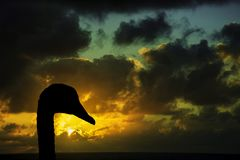 Silhouette of a swan with sunrise over the ocean before storm in background. Swan with sunrise over the ocean before storm in background / Lanzarote / Canary Royalty Free Stock Photos