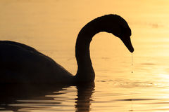 Silhouette of swan and water drop Royalty Free Stock Photography