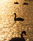 Silhouette of swans in the sunset lake Stock Photography