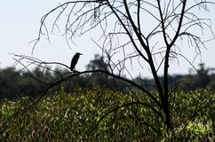 Silhouette of Black-Crowned Night Heron Surveying the Marsh Royalty Free Stock Photography
