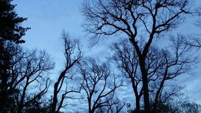 Silhouette of tall leafless trees against a blue cloudy late evening sky - dramatic and beautiful. But a little spooky royalty free stock photography