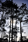 Silhouette of tall pine tree Royalty Free Stock Image