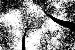 Silhouette of tall trees photographed from below. Featuring a large tree trunk and branches and leaves that covered the sky Stock Photography