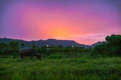 Silhouette  thai buffalo. Thai buffalo eating grass during sunset time Stock Photo