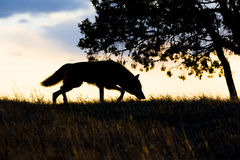Silhouette of timber wolf hunting Royalty Free Stock Photography