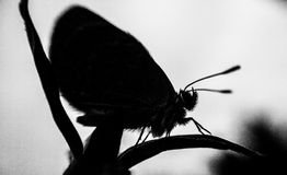 Silhouette tinybutterfly Stock Photos