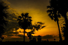 Silhouette of Toddy palm or Sugar palm. Royalty Free Stock Photo