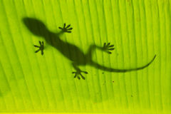 Silhouette of tokay gecko on a palm tree leaf, Ang Thong Nationa Royalty Free Stock Images