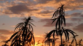 Silhouette of the tops of branches of wild hemp on a background of sunset. Cultivation of the cannabis. Legalization of