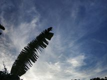 Torn banana leaf. A silhouette of a torn banana leaf with blue sky and beautiful white clouds formation as the background stock photography