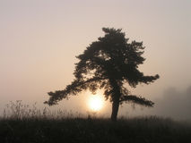Silhouette of a tree. Earlier foggy morning royalty free stock photo