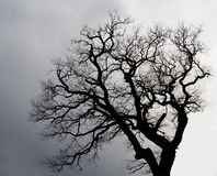 Silhouette of a  tree. Stock Photography