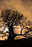 Silhouette of a tree. Sepia Royalty Free Stock Photo