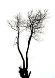 Silhouette tree. A gloomy silhouette of a bare oak tree Stock Image