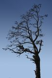 Silhouette Tree. Tree silhouetted against a deep blue sky stock image