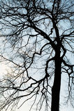 Silhouette a tree Royalty Free Stock Image