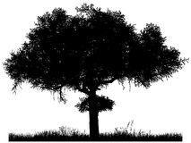 Silhouette of the tree-acacia Stock Images
