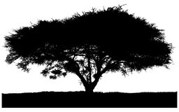 Silhouette of the tree-acacia Stock Photos
