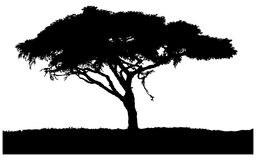 Silhouette of the tree-acacia. Silhouette of acacia wood-African savannah. Isolated on white background Royalty Free Stock Images