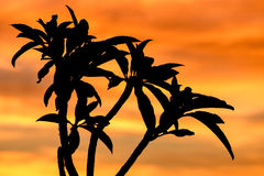 Silhouette of tree in Africa at sunrise or sunset Stock Photography