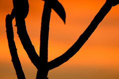 Silhouette of tree in Africa at sunrise or sunset Royalty Free Stock Photos